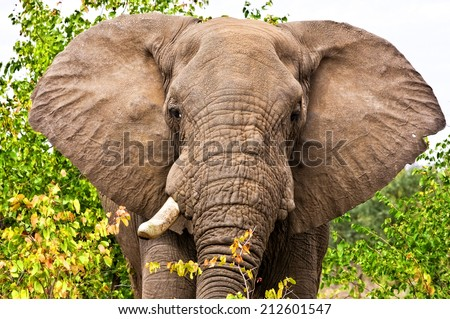 Gigantic male african elephant in the Kruger National Park, South Africa - stock photo