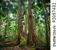 gigantic trees in fan palm rainforest queensland Australia cape tribulation daintree rain forest pristine jungle in nature reserve - stock photo