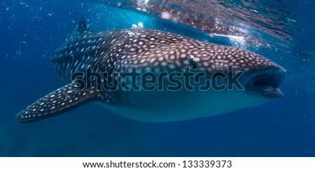 Gigantic whale shark (Rhincodon typus) feeding near surface - stock photo