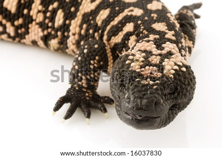 Gila Monster (Heloderma suspectum) on white background. - stock photo