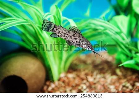Gilded Catfish (Zungaro zungaro) in aquarium  - stock photo