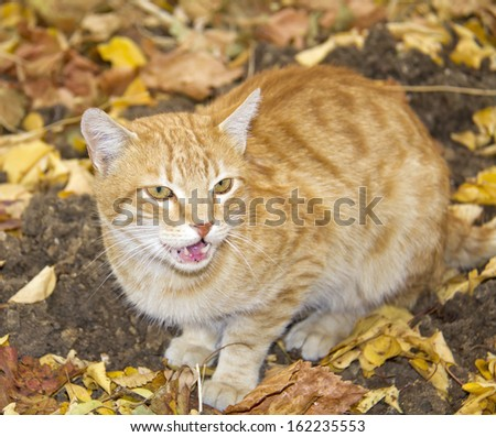 Ginger cat - stock photo