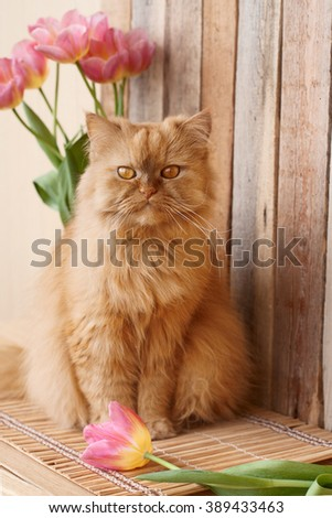 Ginger cat and pink tulips - stock photo