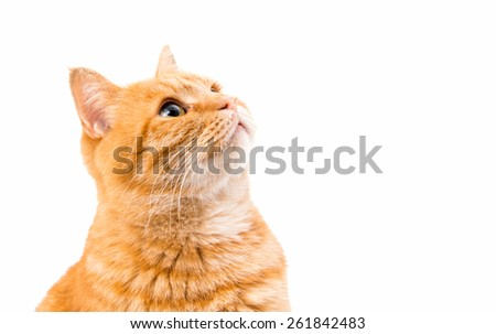 ginger cat isolated on white background - stock photo