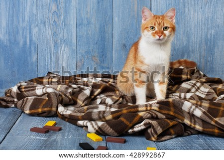 Ginger cat sitting on plaid blanket at blue wooden background. Red orange cat with white chest portrait. - stock photo