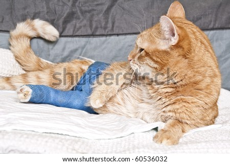 ginger cat with broken leg - stock photo