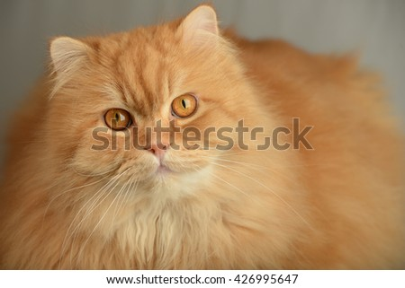 Ginger fluffy cat. Cute Animal portrait - stock photo
