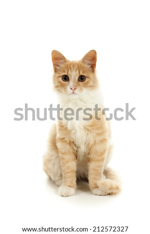 Ginger kitten posing on a white background. - stock photo