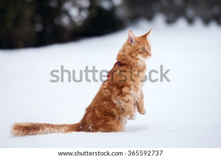 ginger maine coon cat walking outdoors in winter - stock photo