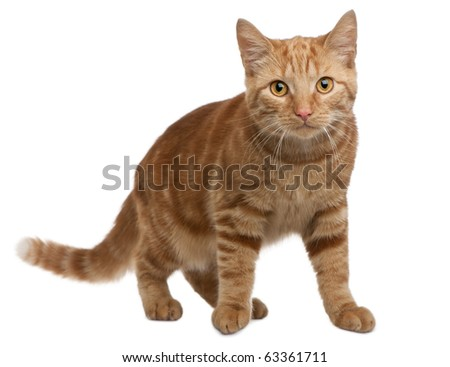 Ginger mixed breed cat, 6 months old, standing in front of white background - stock photo