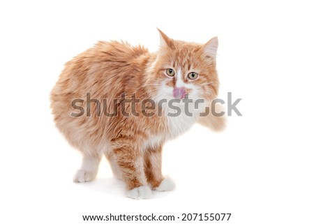 Ginger mixed breed cat on white - stock photo