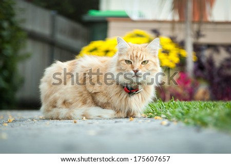 Ginger tabby female cat sitting proudly on the path in front of her home - stock photo