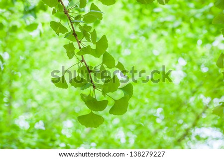 ginkgo leaves in the spring - stock photo