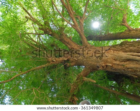 ginkgo old ancient tree  - stock photo
