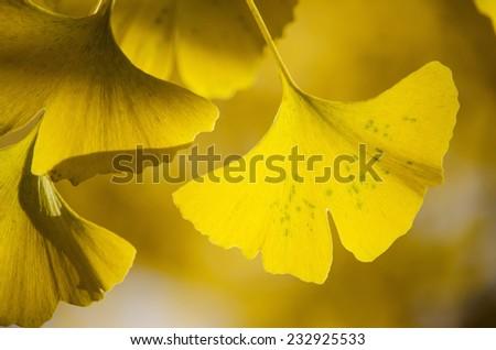 Ginko Biloba autumn leaves - stock photo