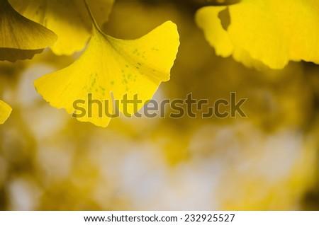 Ginko Biloba, yellow leaf background - stock photo