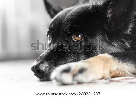 Giorgoi posing for a dog portrait. - stock photo