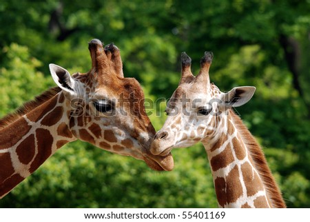 Girafes - stock photo