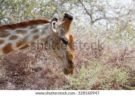 Giraffa camelopardalis grazing on tree in Etosha national Park, Ombika, Kunene, Namibia, true wildlife - stock photo