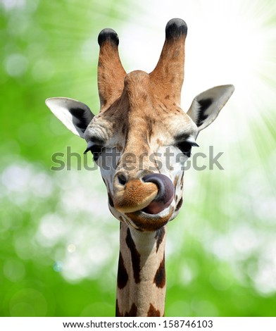 Giraffe  - stock photo