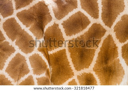 Giraffe. - stock photo