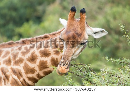 giraffe african mammal nature reserve south africa gondwana - stock photo