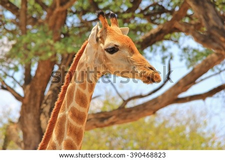 Giraffe - African Wildlife Background - Posture of an Icon - stock photo