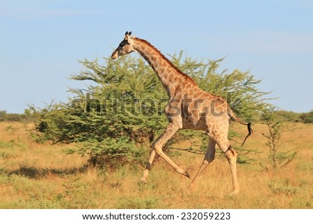 Giraffe - African Wildlife Background - Posture of an Iconic Animal loving Life - stock photo