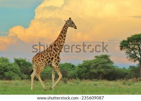 Giraffe - African Wildlife Background - The Rain is Coming - stock photo