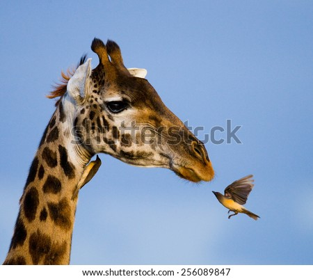 Giraffe and Bird. Giraffe and Oxpecker. - stock photo