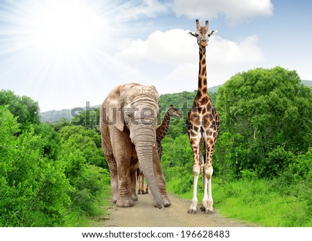 Giraffe and elephant in Kruger park South Africa - stock photo