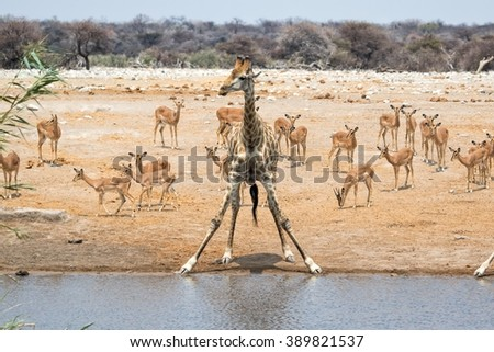giraffe at a waterhole with impalas etosha national park - stock photo