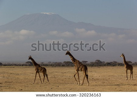 Giraffe at Mount. Kilimanjaro - stock photo