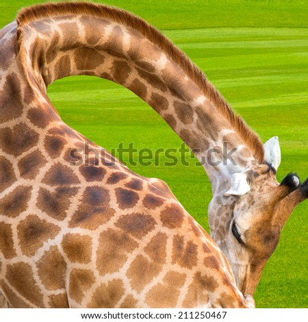 Giraffe at the backdrop of a beautiful green lawn. - stock photo