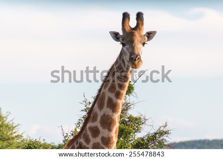 Giraffe at the Mokolodi Nature Reserve in Botswana - stock photo