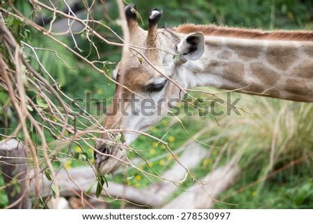 giraffe at the zoo ,thailand. - stock photo
