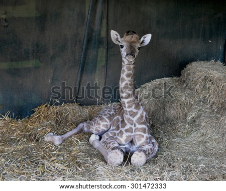 Giraffe baby. South Africa. - stock photo