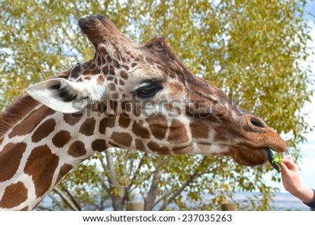 Giraffe being fed lettuce - stock photo