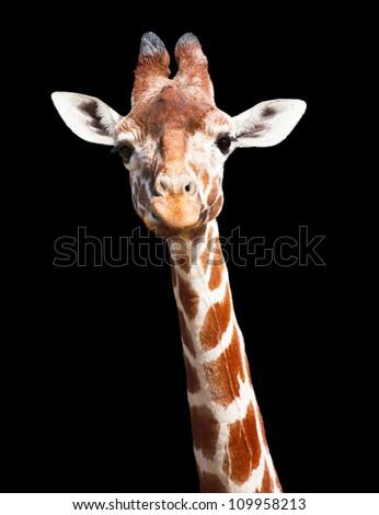 Giraffe black background - stock photo