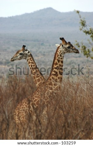Giraffe boys 2.04 - stock photo