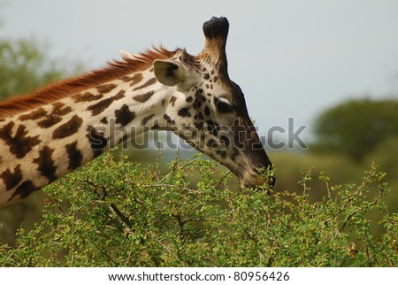Giraffe browsing on Acacia - stock photo