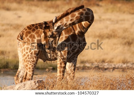 giraffe cleaning himself - stock photo
