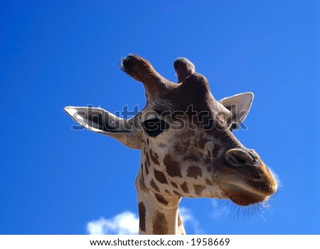 Giraffe Close up on blue sky - stock photo