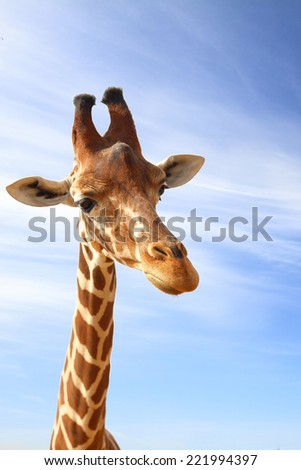 Giraffe closeup portrait with blue sky as background - stock photo