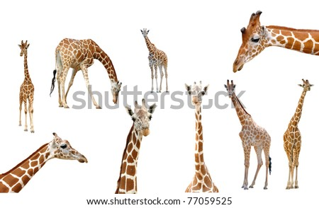 giraffe collection isolated on white background - stock photo