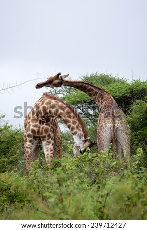 Giraffe couple. South Africa, Kruger National Park. - stock photo