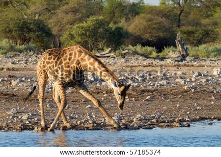 giraffe drinking - stock photo