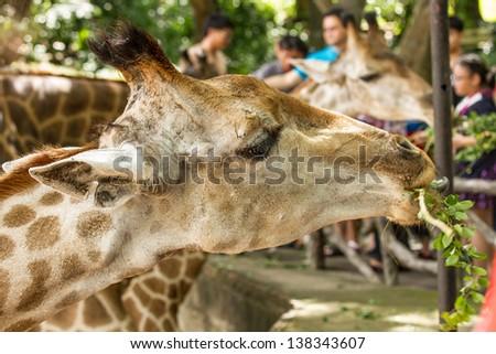 giraffe eating feeding food from a child - stock photo