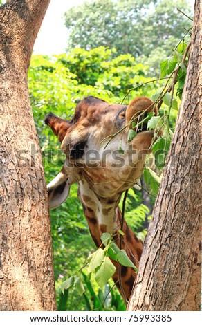 Giraffe eating green leaves from tree - stock photo