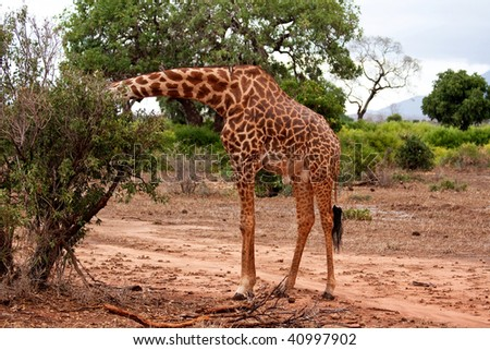 Giraffe eating in the African bush - stock photo